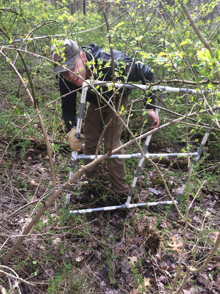 Adam Hammershoy '17 trapped in the barberry with his quadrat.